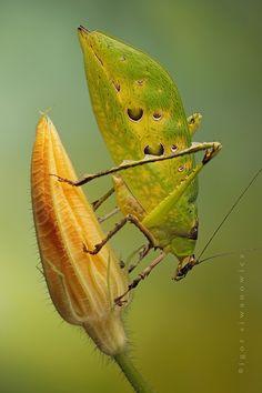 Ancylecha fenestrata (Malaysian Katydid) by *Blepharopsis