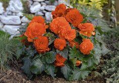 Tuberous Begonia, Large Flowers, Hanging Baskets, Petunias, Flower Pots, Planting Flowers, Seeds, Planters, Bloom