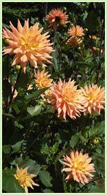 Dahlia Care Anna's new flower. Seems like a pita to me :/