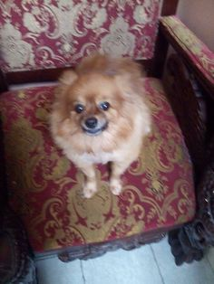 """This Is My Brother's Dog """"Mia"""".  She Is A Pomeranian."""