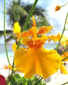 Oncidium Orchid by Magnolia Florería
