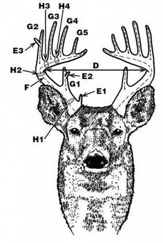 10 best field dressing deer images field dressing a deer, huntingdeer antler scoring need to learn this so, i know what the hunters in