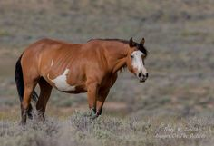 buckskin paint mustang mare