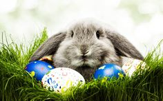 Beautiful Easter grey rabbit is depicted among eggs. The eggs are of different colors and decorated with prints. The rabbit is flyffly, it looks a little scared and keeps its ears down. The rabbit and eggs are located in green grass. Grey Bunny, Cute Bunny, Ostern Wallpaper, Easter Bunny Pictures, Easter Parade, Hoppy Easter, Easter Eggs, Easter Food, Easter Celebration