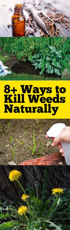 Natural pest control, pest control, weed control, natural weed control, popular pin, kill weeds natural, weed control.