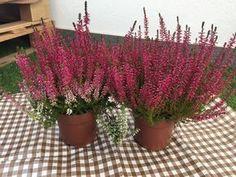 Jednoduchý trik, ako docieliť, aby vám vresy nevysychali a kvitli celú sezónu Gardening, Flowers, Photos, Hacks, Plants, Lawn And Garden, Pictures, Royal Icing Flowers, Flower