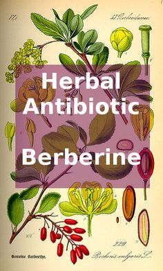 Looking for an antibiotic alternative that won't harm your helpful gut flora? Learn about berberine and how to work with berberine-containing plants to get the most out of this herbal antibiotic. Healing Herbs, Holistic Healing, Medicinal Plants, Natural Healing, Homeopathic Remedies, Health Remedies, Natural Remedies, Natural Medicine, Herbal Medicine
