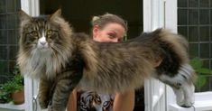 The Maine Coon size is the biggest trained feline breed. Learn about maine coon big cats, biggest maine coon, large maine coon cats and much more. Gatos Maine Coon, Chat Maine Coon, Maine Coon Kittens, Cute Cats And Kittens, I Love Cats, Cool Cats, Gato Bengali, Large Cat Breeds, Large Domestic Cat Breeds
