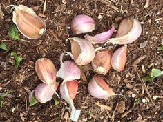 Learn How to Grow Your Own Garlic >> http://blog.diynetwork.com/maderemade/2013/10/28/how-to-never-buy-garlic-again-grow-your-own?soc=pinterest