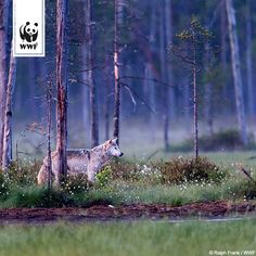 Wölfe brauchen zum Überleben nicht unbedingt eine unberührte Natur wie hier auf dem Bild. Sie sind sehr anpassungsfähig.