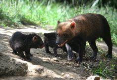 The bush dogs (Speothos venaticus, Pes pralesní, Status: Near Threatened) from Zoo Praha, the Czech Republic. bush d. Black Bear, Deviantart, Dogs, Animals, Animales, American Black Bear, Animaux, Pet Dogs, Doggies