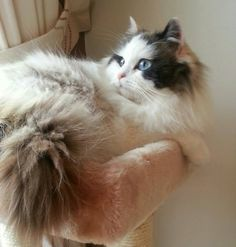 Latest Screen calico Ragdoll Cats Tips The bigger, weak Ragdoll is often a delightful addition to virtually any dog second half's home. Cute Cats And Kittens, I Love Cats, Crazy Cats, Kittens Cutest, Kitty Cats, Ragdoll Cat Breed, Ragamuffin Cat, Beautiful Cats, Cat Breeds