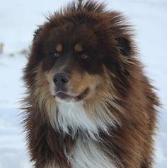Meet Sherpa, an adopted Australian Shepherd & Tibetan Mastiff Mix Dog, from Nuzzles & Co. Learn more about Sherpa today. Unique Dog Breeds, Rare Dog Breeds, Corgi Dog Breed, Husky Puppy, Blue Merle, Aussie Puppies, Big Puppies, Fluffy Puppies, I Love Dogs