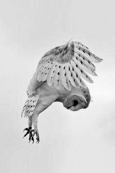 Barn owls are my favourite of all owls.