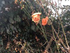 #photography  #winter  #december  #rose #orange