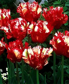 Tulip Estella Rijnveld Bukay | One of the most showy and popular of all tulips, she is blazing red ...