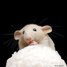 Adorable baby rattie