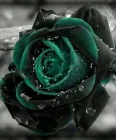 Description : Egrow 100 Pcs Black Rose Seeds Dark Green Rose Garden Bonsai Perennial Plants Flower SeedRoses are ancient symbols of love and beauty.