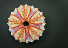 This shell is a Deep Water Philippine Urchin.  The colors are fantastic. You can get them online through seashell suppliers