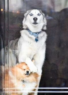 See that, shortie? #husky and pom