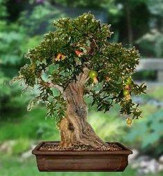 dwarf pomegranate bonsai   GREAT FOR BONSAI Dwarf Pomegranate Tree Seeds RARE