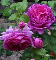 'Young Lycidas' Rose Photo