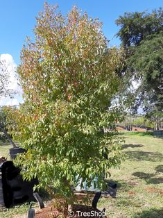 10 trees for small gardens in South Africa Garden Ideas South Africa, Small Garden Images, Dragon Tree, 10 Tree, Sandy Soil, Water Wise, Small Trees, Small Gardens, Trees To Plant