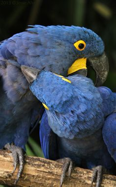 Here are two macaws … making out?? No! … fighting? No! Preening each other! :-D Hyacinthe Macaw ~Hyazinth-Ara ~Ara hyacinthe ~Anodorhynchus hyacinthinus 2013 © Jesse Alveo