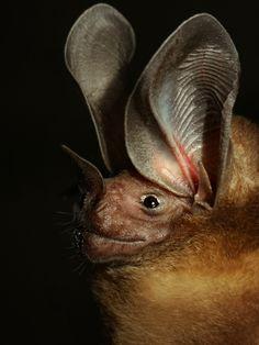 Round-eared Bat (Lophostoma silvicolum)