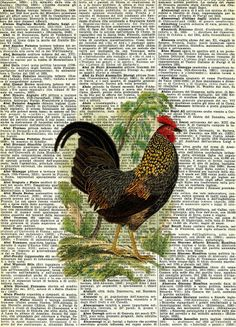 Gallo - stampa inglese 1800