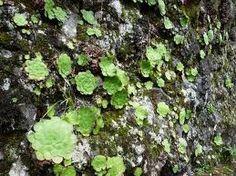 Aeonium glandulosum