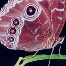 Blue Moon Butterfly Close-up