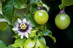 An extremely vigorous vine, passionfruit (Passiflora edulis) is native to South America, and is the national flower of Paraguay. It has striking white and purple flowers that are produced before the fruit, and the vine climbs by means of tendrils that twine around a support. The fruit, which can be purple, red or golden, is full of goodness and low in kilojoules. It contains vitamin C,B vitamins riboflavin and niacin, plus fibre, iron, phosphorus and potassium.