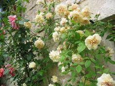 Rose ancienne : 'Desprez à Fleurs Jaunes'