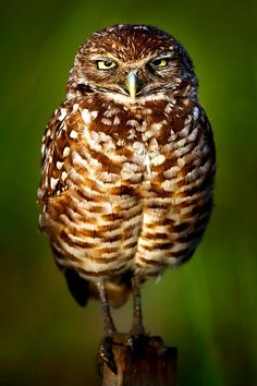 Burrowing owl (Athene cunicularia) is a small, long-legged owl found throughout open landscapes of North and South America. It can be found in grasslands, rangelands, agricultural areas, deserts, or any other open dry area with low vegetation.