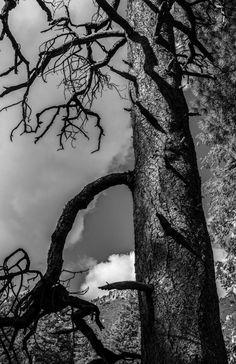 Creek Pine, sky, clouds, black and white, trees, pine trees, home decor, wall art, wall decor Photoshop, canon camera, art, rotten wood, sad