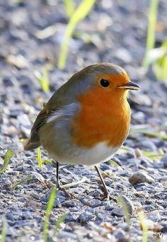 Petit oiseau! Amis des jardiniers