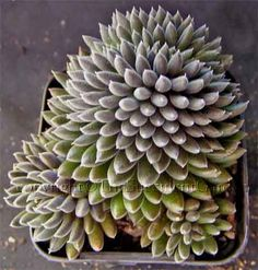 Sinocrassula yunnanensis-That's a mouthfull.