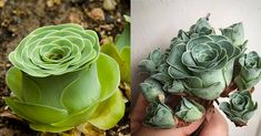 Remember the dolphin succulents and bunny succulents we wrote about earlier? If you liked those you'll just love these rose-shaped succulents! Called Greenovia Dodrentalis, these succulents have curved layered petals that make the plants look just like
