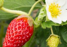 Strawberry, Fruit, Organic, Gardening, Sun, Plant, The Fruit, Lawn And Garden, Strawberries
