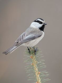Mountain Chickadee - Poecile gambeli,/ saw this bird today too Nats....wonderful afternoon walk and picnic. We must all do.