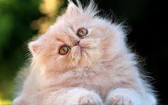 SOS Animal  com amor: Gato Persa , lindo ,leve  e macio
