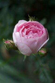 Scepter'd Isle, David Austin. Très joli rosier produisant de nombreuses fleurs assez petites en forme de coupe, exposant les étamines. Les fleurs de couleur rose tendre, tirant sur un rose plus pâle sur les pétales extérieurs, dominent une croissance plutôt érigée. Un charmant rosier très remontant, toujours couvert de fleurs. Puissant parfum de myrrhe, note introduite avec Constance Spry. 1,25 m x 1 m.
