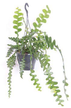 zaagcactus hangplant (niet giftig voor katten volgens kattenencyclopedie)
