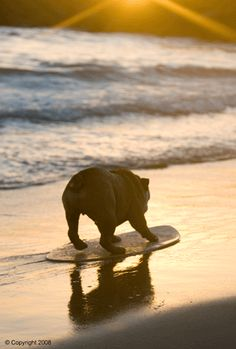 #humor #skimboard #watersports #bulldog #fugu #learnlife