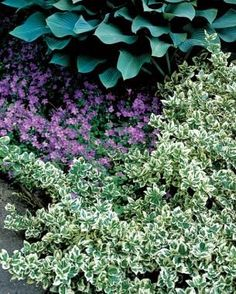 The Only Shrubs You Need to Grow | Fine Gardening 'Emerald Gaiety' wintercreeper euonymus fortunei 'emerald gaiety'