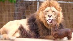 lion ♥