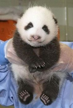 smiling baby panda