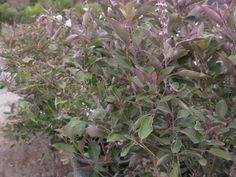 DM Color Express » Vitex Trifolia 'Purpurea'DM Color Express