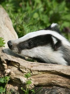 Badger, they are bears, but they bark like dogs, live in burrows